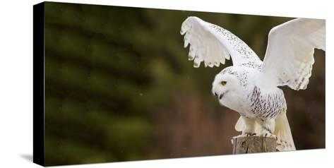 Close-Up of a Snowy Owl (Bubo Scandiacus) Prepare for Takeoff--Stretched Canvas Print