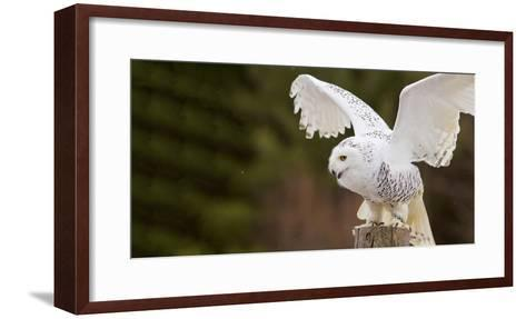 Close-Up of a Snowy Owl (Bubo Scandiacus) Prepare for Takeoff--Framed Art Print