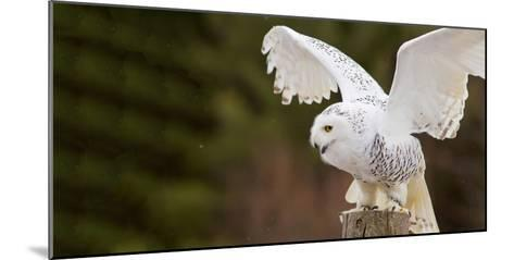 Close-Up of a Snowy Owl (Bubo Scandiacus) Prepare for Takeoff--Mounted Photographic Print