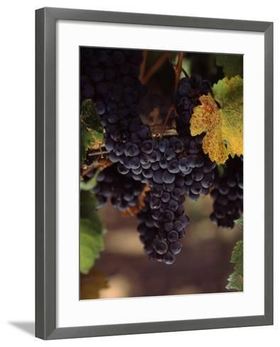 Cabernet Sauvignon Grapes in Vineyard, Wine Country, California, USA--Framed Art Print