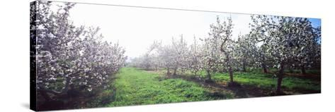 Apple Orchard, Hudson Valley, New York State, USA--Stretched Canvas Print