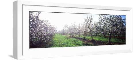 Apple Orchard, Hudson Valley, New York State, USA--Framed Art Print