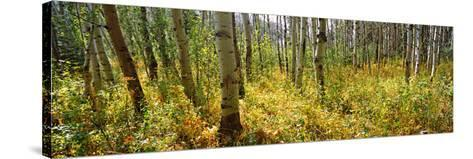 Aspen Grove at Two Medicine Valley, Us Glacier National Park, Montana, USA--Stretched Canvas Print