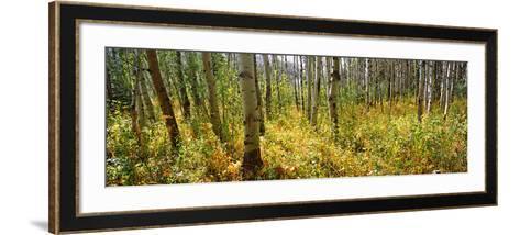 Aspen Grove at Two Medicine Valley, Us Glacier National Park, Montana, USA--Framed Art Print
