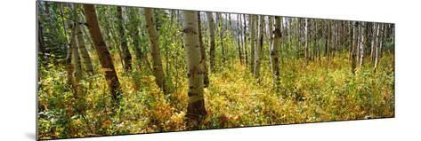 Aspen Grove at Two Medicine Valley, Us Glacier National Park, Montana, USA--Mounted Photographic Print