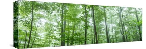 Trees in a Forest, Hamburg, New York State, USA--Stretched Canvas Print