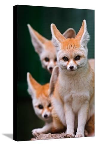 Fennec Foxes-Lantern Press-Stretched Canvas Print