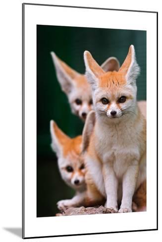 Fennec Foxes-Lantern Press-Mounted Art Print