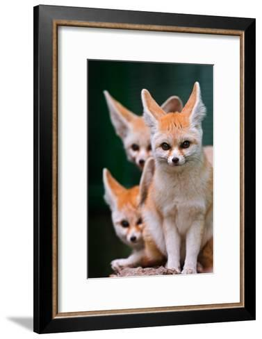Fennec Foxes-Lantern Press-Framed Art Print