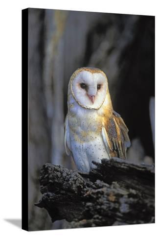 Barn Owl-Lantern Press-Stretched Canvas Print