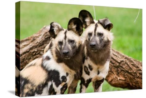 African Wild Dogs-Lantern Press-Stretched Canvas Print
