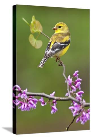American Goldfinch-Lantern Press-Stretched Canvas Print