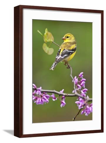 American Goldfinch-Lantern Press-Framed Art Print