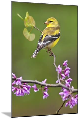 American Goldfinch-Lantern Press-Mounted Art Print