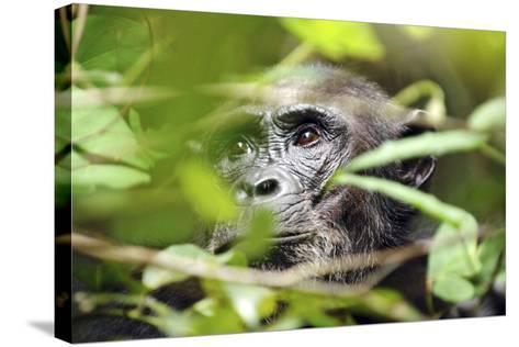 Chimpanzee in Bush at Mahale Mountains National Park, Tanzania-Paul Joynson Hicks-Stretched Canvas Print