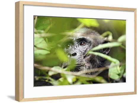 Chimpanzee in Bush at Mahale Mountains National Park, Tanzania-Paul Joynson Hicks-Framed Art Print