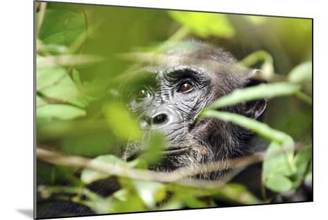 Chimpanzee in Bush at Mahale Mountains National Park, Tanzania-Paul Joynson Hicks-Mounted Photographic Print