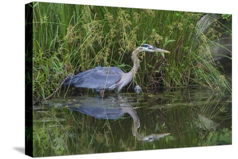 A Great Blue Heron Wades at the Edge of a Pond Near the Occoquan River in Northern Virginia-Kent Kobersteen-Stretched Canvas Print
