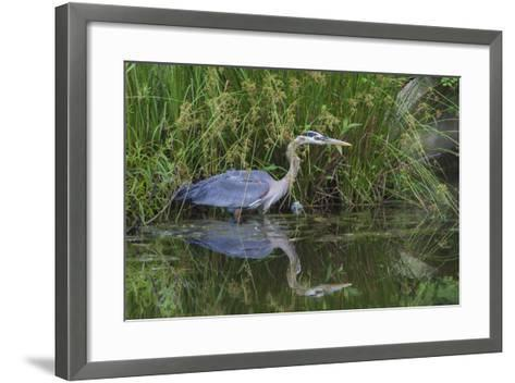 A Great Blue Heron Wades at the Edge of a Pond Near the Occoquan River in Northern Virginia-Kent Kobersteen-Framed Art Print