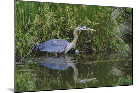 A Great Blue Heron Wades at the Edge of a Pond Near the Occoquan River in Northern Virginia-Kent Kobersteen-Mounted Photographic Print