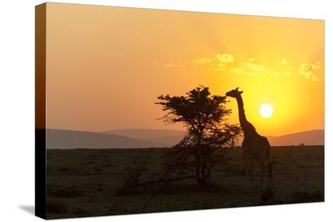 A Masai Giraffe, Giraffa Camelopardalis Tippelskirchi, Browsing at Sunset-Sergio Pitamitz-Stretched Canvas Print