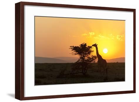 A Masai Giraffe, Giraffa Camelopardalis Tippelskirchi, Browsing at Sunset-Sergio Pitamitz-Framed Art Print
