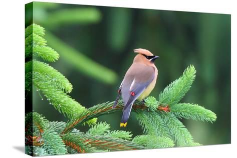 A Male Cedar Waxwing, Bombycilla Cedrorum, Perched on a Pine Tree Limb-George Grall-Stretched Canvas Print