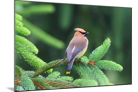 A Male Cedar Waxwing, Bombycilla Cedrorum, Perched on a Pine Tree Limb-George Grall-Mounted Photographic Print