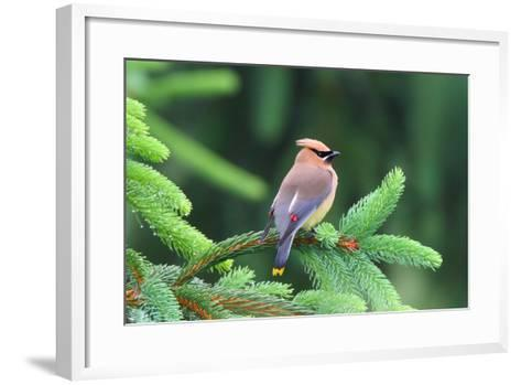 A Male Cedar Waxwing, Bombycilla Cedrorum, Perched on a Pine Tree Limb-George Grall-Framed Art Print