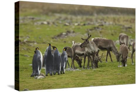 King Penguins, Aptenodytes Patagonicus, Among Grazing Caribou, Rangifer Tarandus-Tim Laman-Stretched Canvas Print
