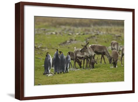 King Penguins, Aptenodytes Patagonicus, Among Grazing Caribou, Rangifer Tarandus-Tim Laman-Framed Art Print