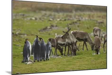 King Penguins, Aptenodytes Patagonicus, Among Grazing Caribou, Rangifer Tarandus-Tim Laman-Mounted Photographic Print