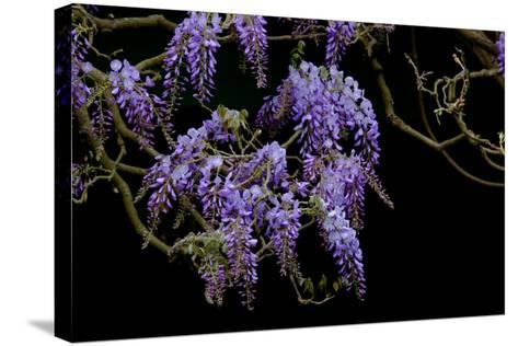Lavender Colored Wisteria in Monet's Garden in Giverny-Paul Damien-Stretched Canvas Print
