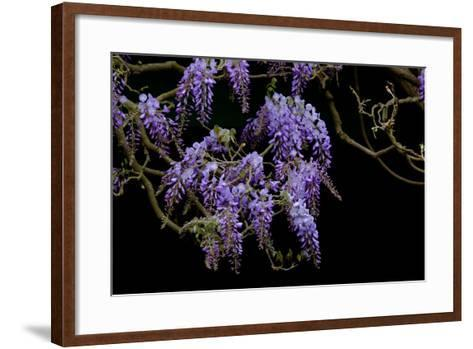 Lavender Colored Wisteria in Monet's Garden in Giverny-Paul Damien-Framed Art Print