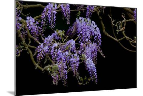 Lavender Colored Wisteria in Monet's Garden in Giverny-Paul Damien-Mounted Photographic Print