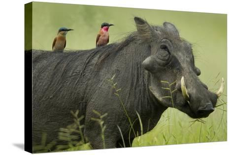 Two Carmine Bee-Eaters Sitting on the Back of a Warthog, Botswana-Beverly Joubert-Stretched Canvas Print