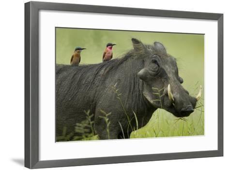 Two Carmine Bee-Eaters Sitting on the Back of a Warthog, Botswana-Beverly Joubert-Framed Art Print