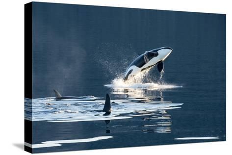 Killer Whales, or Orcas Leaping and Swimming in Frederick Sound, Inside Passage, Alaska-Michael Melford-Stretched Canvas Print