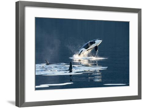 Killer Whales, or Orcas Leaping and Swimming in Frederick Sound, Inside Passage, Alaska-Michael Melford-Framed Art Print