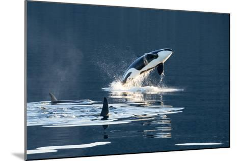 Killer Whales, or Orcas Leaping and Swimming in Frederick Sound, Inside Passage, Alaska-Michael Melford-Mounted Photographic Print