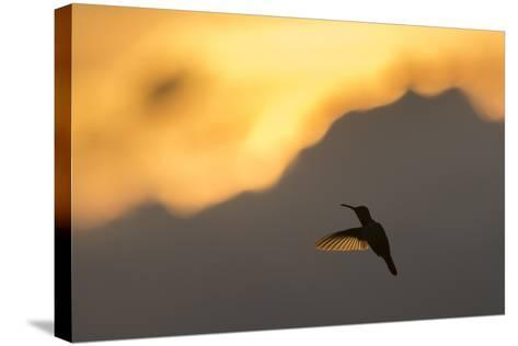 A Hummingbird Silhouetted Against a Mountain at Sunset-Jeff Mauritzen-Stretched Canvas Print