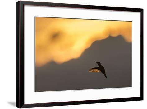 A Hummingbird Silhouetted Against a Mountain at Sunset-Jeff Mauritzen-Framed Art Print