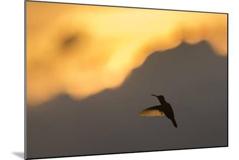 A Hummingbird Silhouetted Against a Mountain at Sunset-Jeff Mauritzen-Mounted Photographic Print