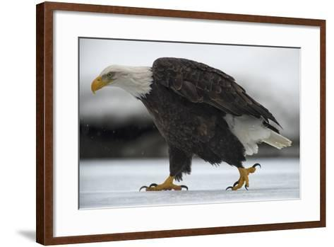 An American Bald Eagle Walking on the Ground During a Snow Shower-Peter Mather-Framed Art Print