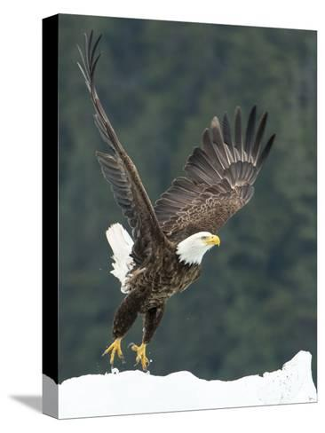 A Bald Eagle Takes Flight Near Petersburg, Inside Passage, Alaska-Michael Melford-Stretched Canvas Print
