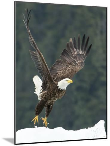A Bald Eagle Takes Flight Near Petersburg, Inside Passage, Alaska-Michael Melford-Mounted Photographic Print