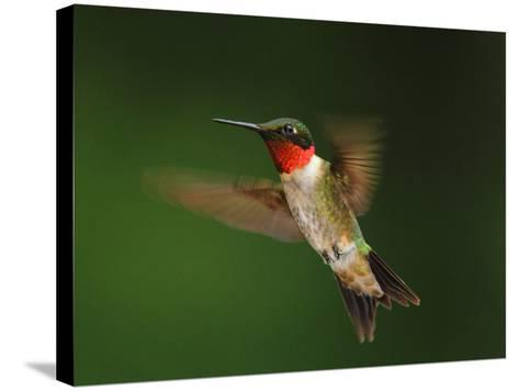 A Male Ruby-Throated Hummingbird, Archhilochus Colubris, in Flight-George Grall-Stretched Canvas Print