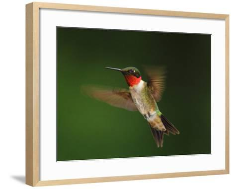 A Male Ruby-Throated Hummingbird, Archhilochus Colubris, in Flight-George Grall-Framed Art Print