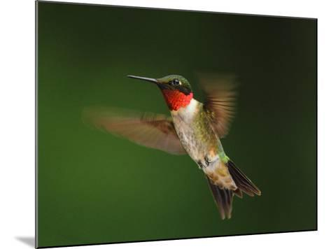 A Male Ruby-Throated Hummingbird, Archhilochus Colubris, in Flight-George Grall-Mounted Photographic Print