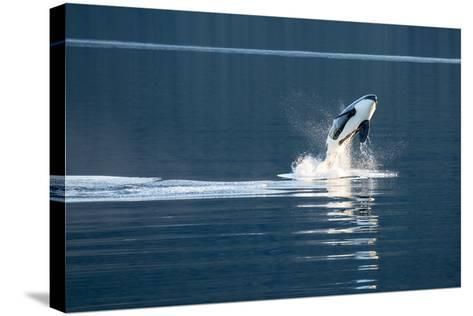 A Killer Whales, or Orca Leaping in Frederick Sound, Inside Passage, Alaska-Michael Melford-Stretched Canvas Print
